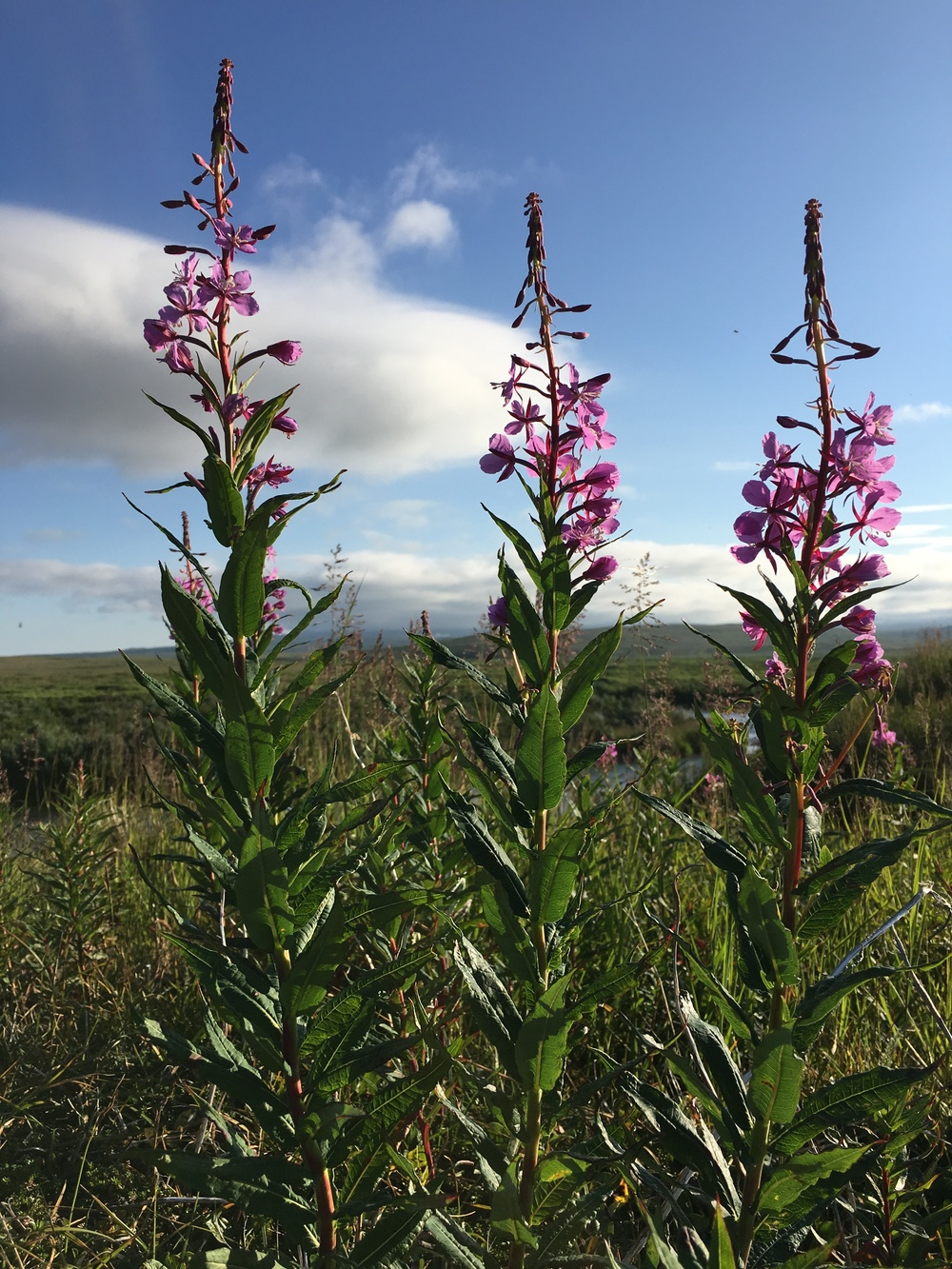 Fireweed - Alaska's hardy and widespread flower