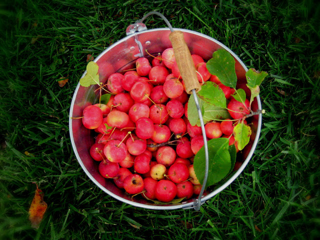 A harvest of crabapples from Ballsbridge in Dublin.
