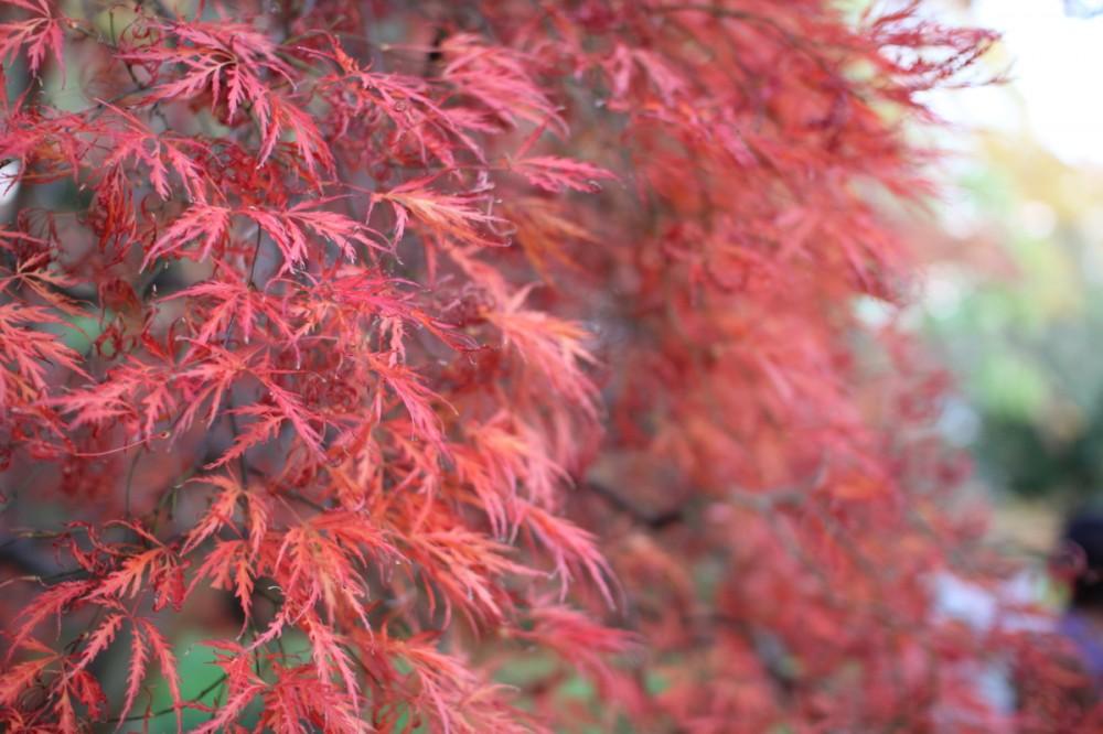A Red Canopy of Leaves, Ballsbridge, Dublin 4
