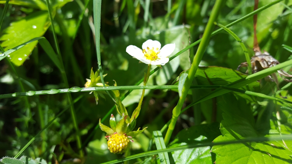 Wild Strawberry in The Making