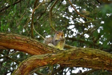 A squirrel in Dublin's Phoenix Park feeding on a foraged nut.