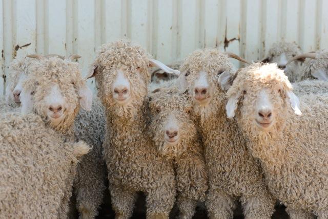 Texas mohair goats!