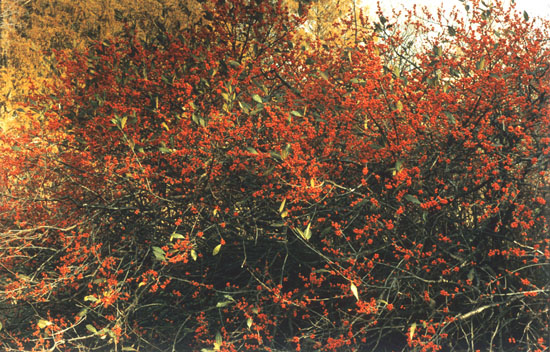 RedBushes.jpg