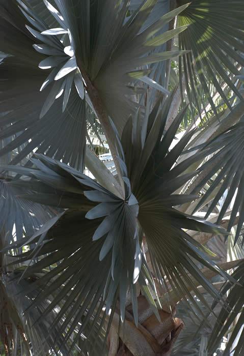 Gray Palm 2