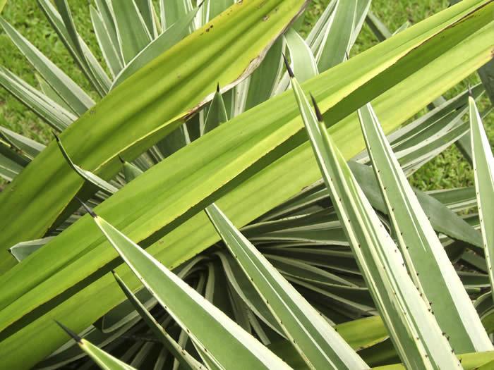 Sword Plant II