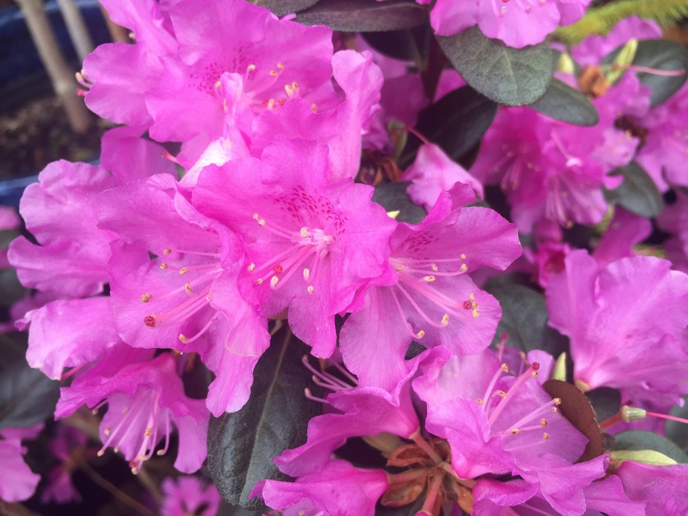 Rhodie up close.jpeg