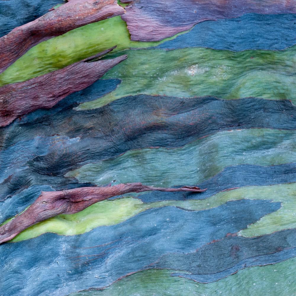 Rainbow Eucalyptus No. 56