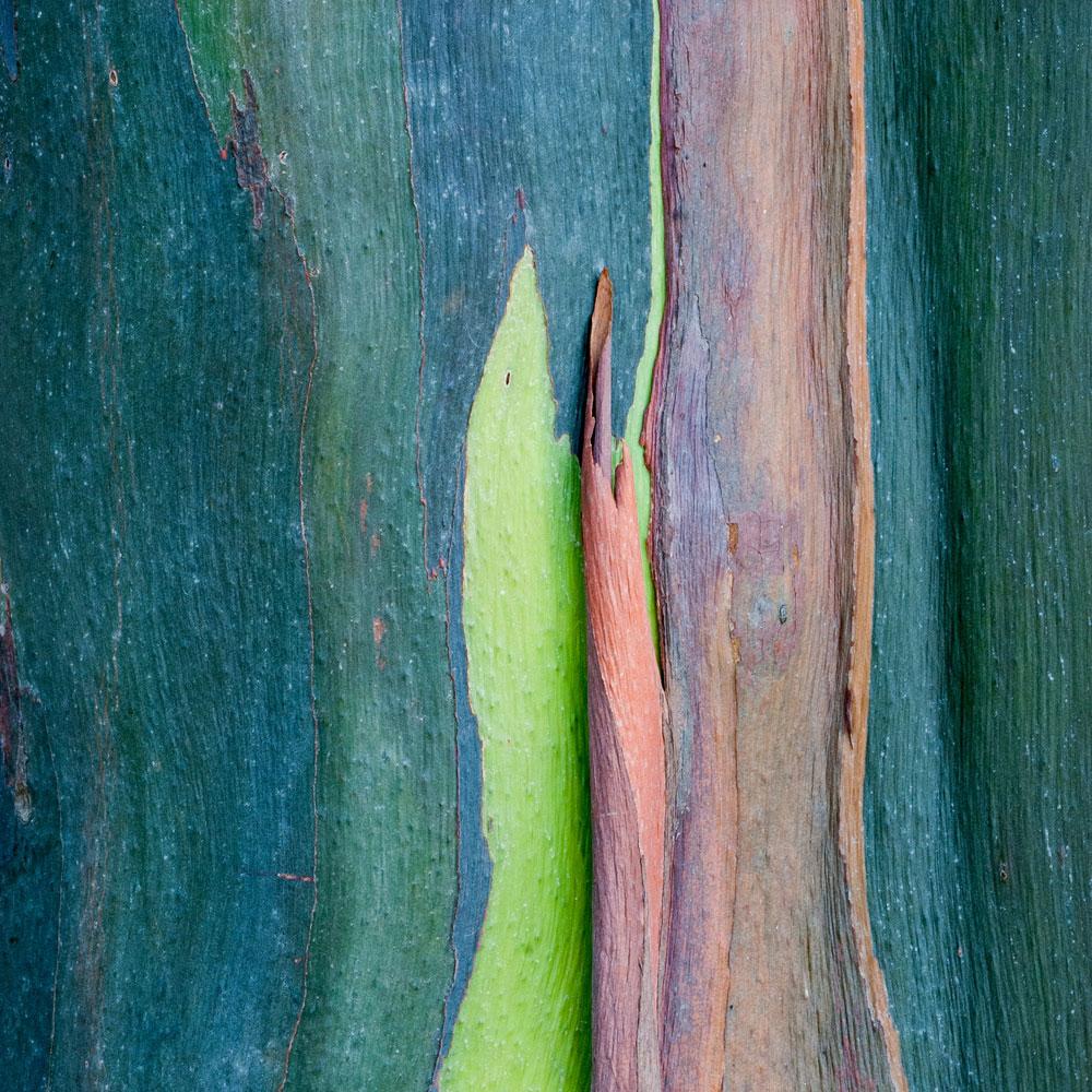 Rainbow Eucalyptus No. 37