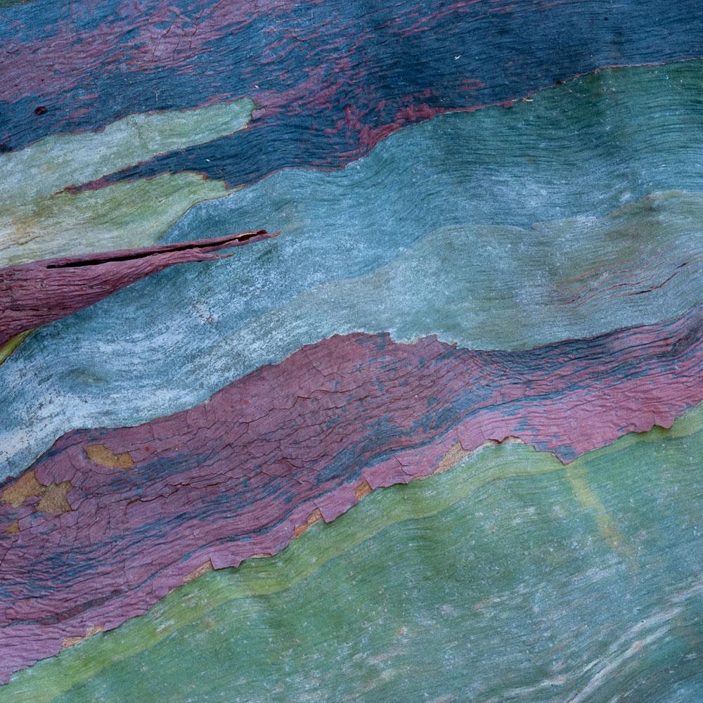 Rainbow Eucalyptus No. 57