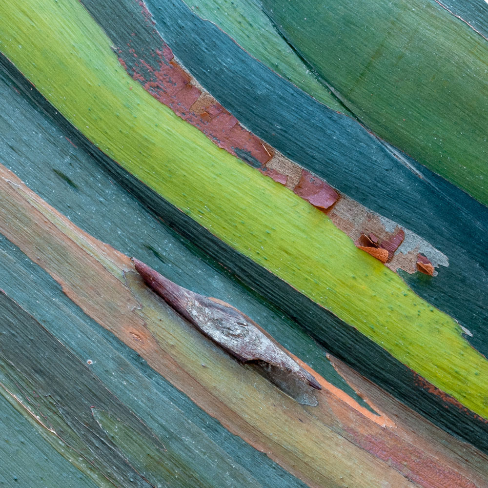 Rainbow Eucalyptus No. 25