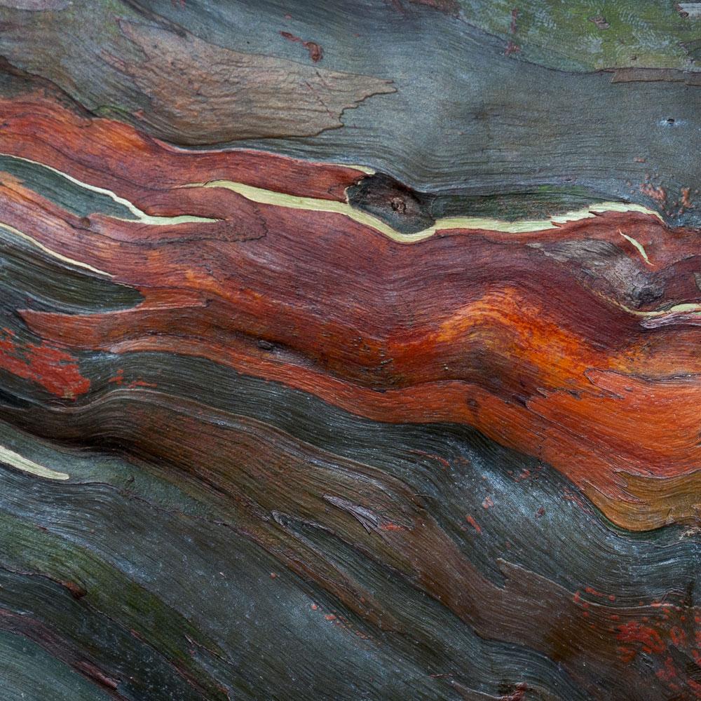 Rainbow Eucalyptus No. 33