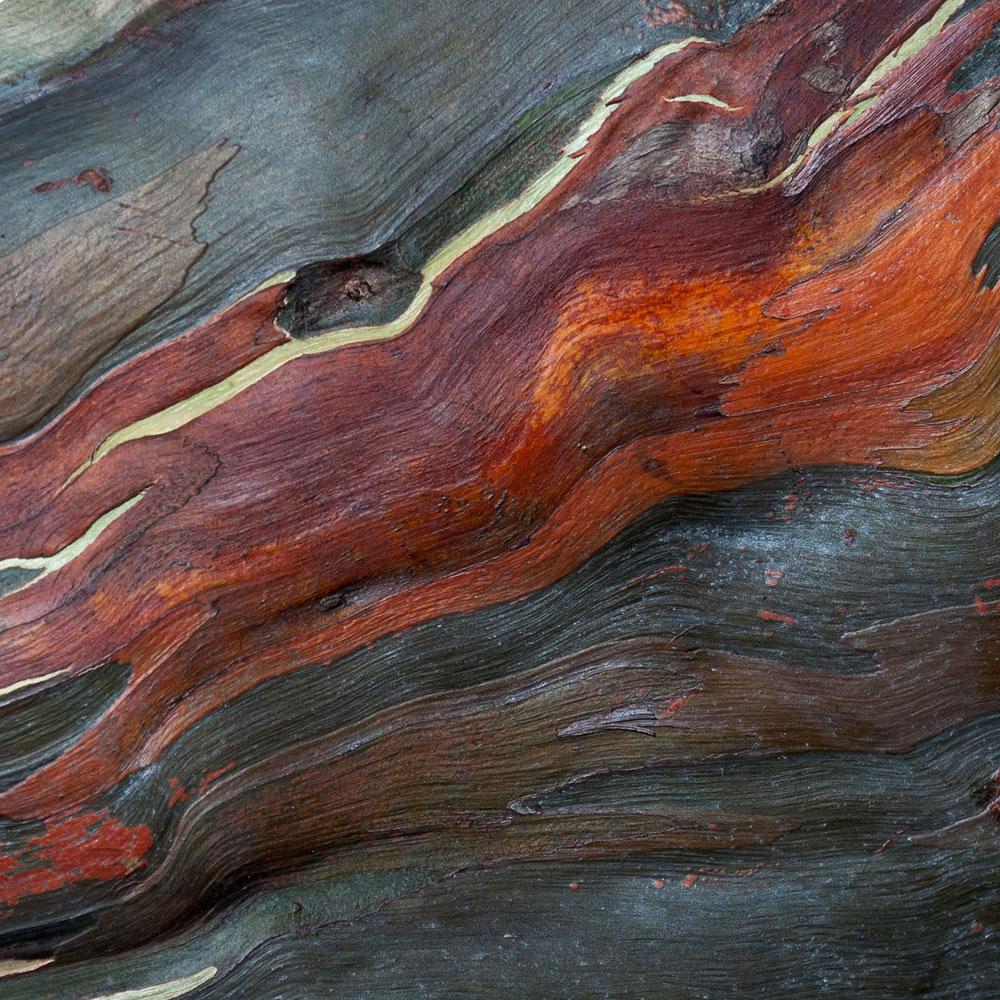Rainbow Eucalyptus No. 11