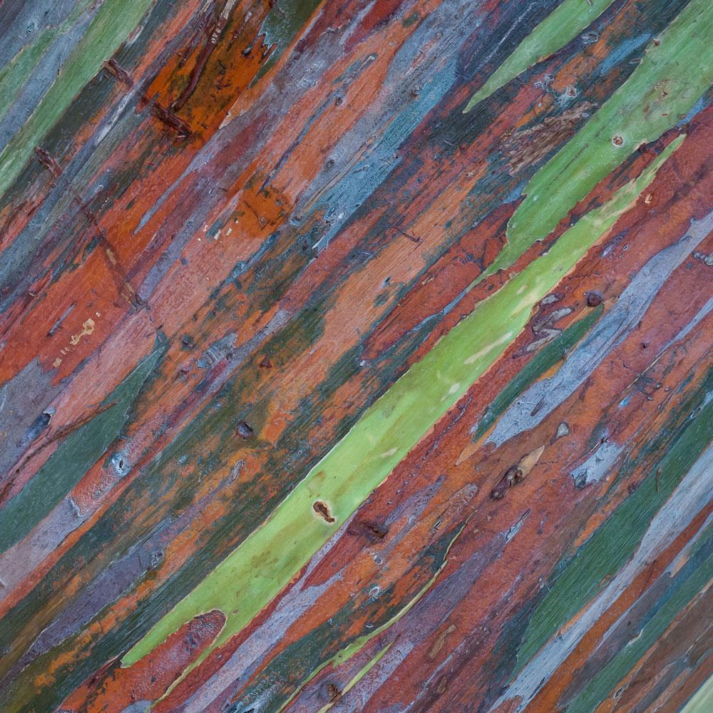 Rainbow Eucalyptus No. 15