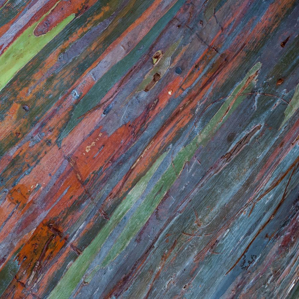 Rainbow Eucalyptus No.36