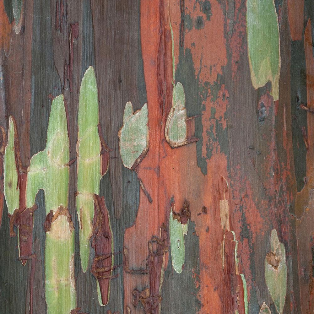 Rainbow Eucalyptus No. 13