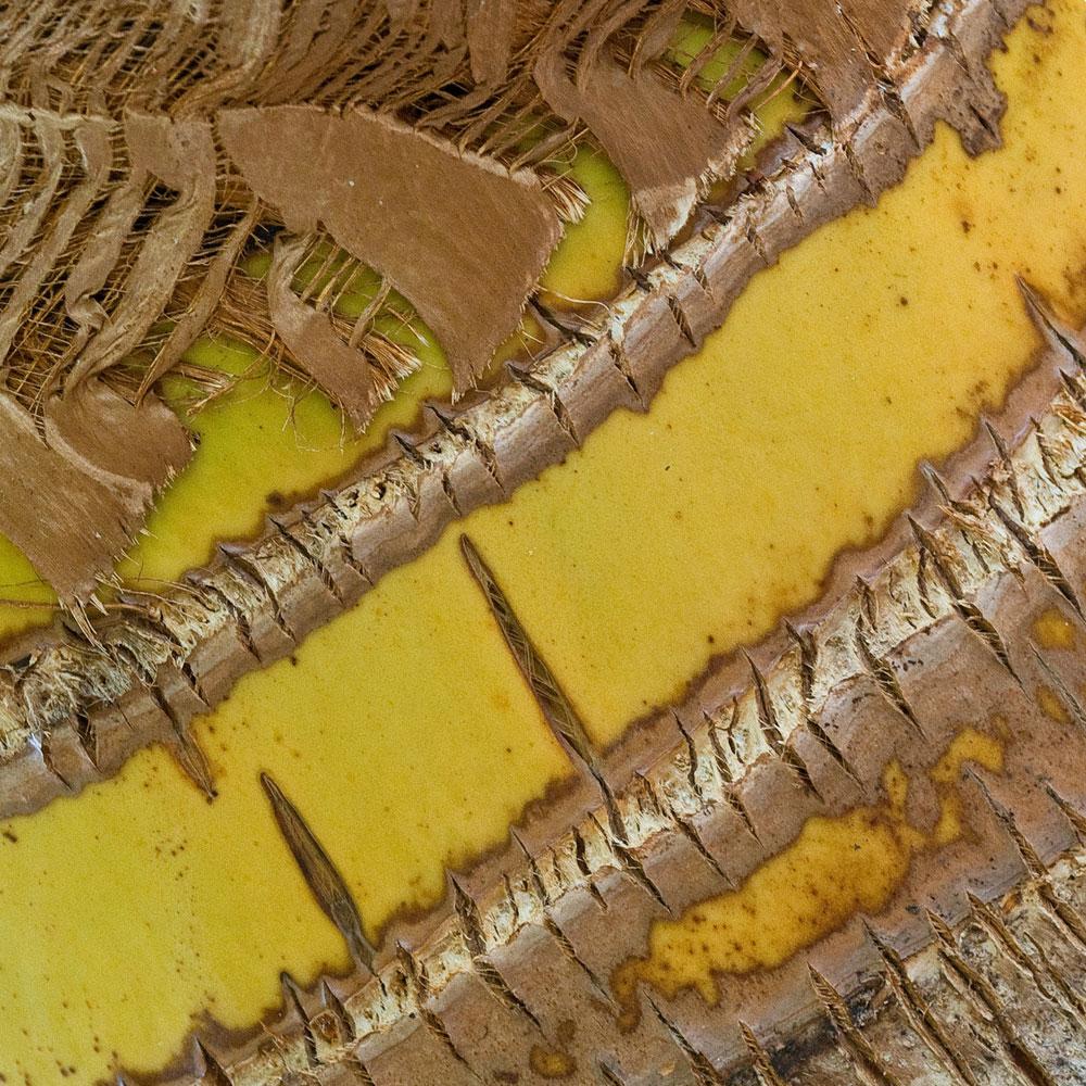 Coconut Palm No. 15