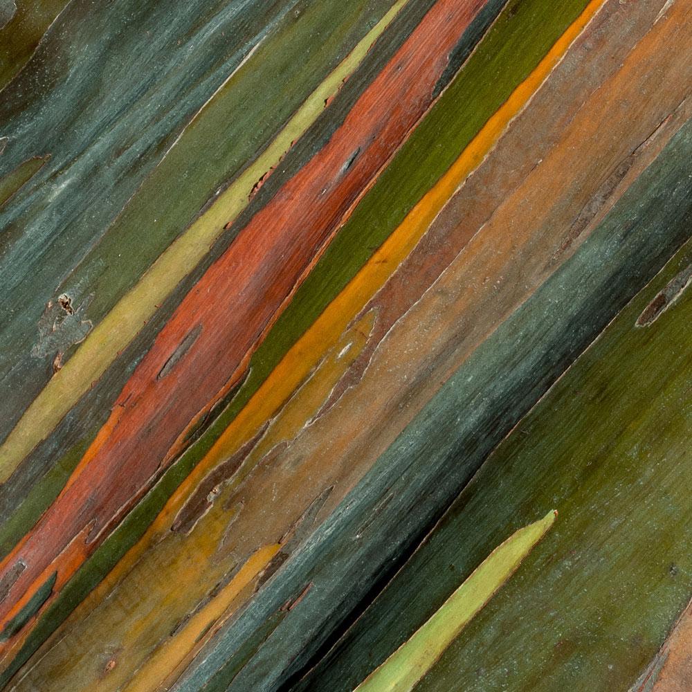 Rainbow Eucalyptus No. 29
