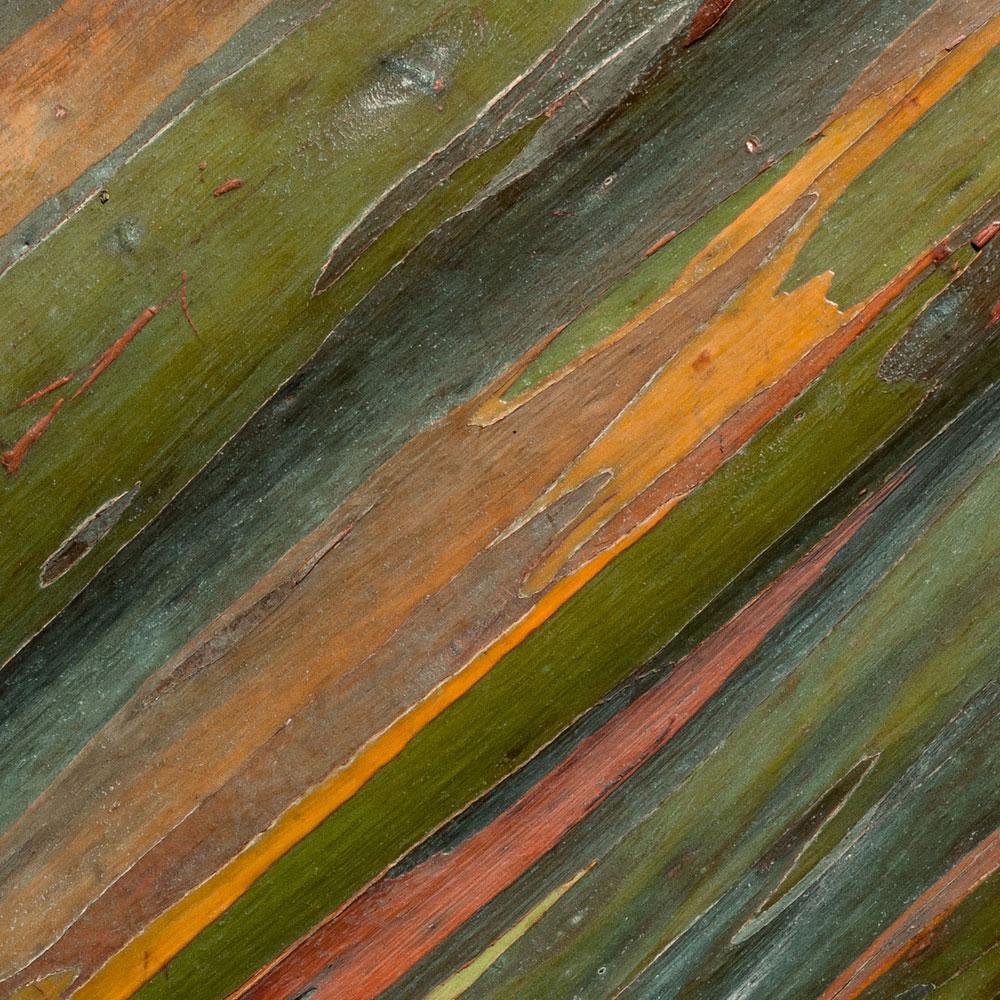 Rainbow Eucalyptus No. 30