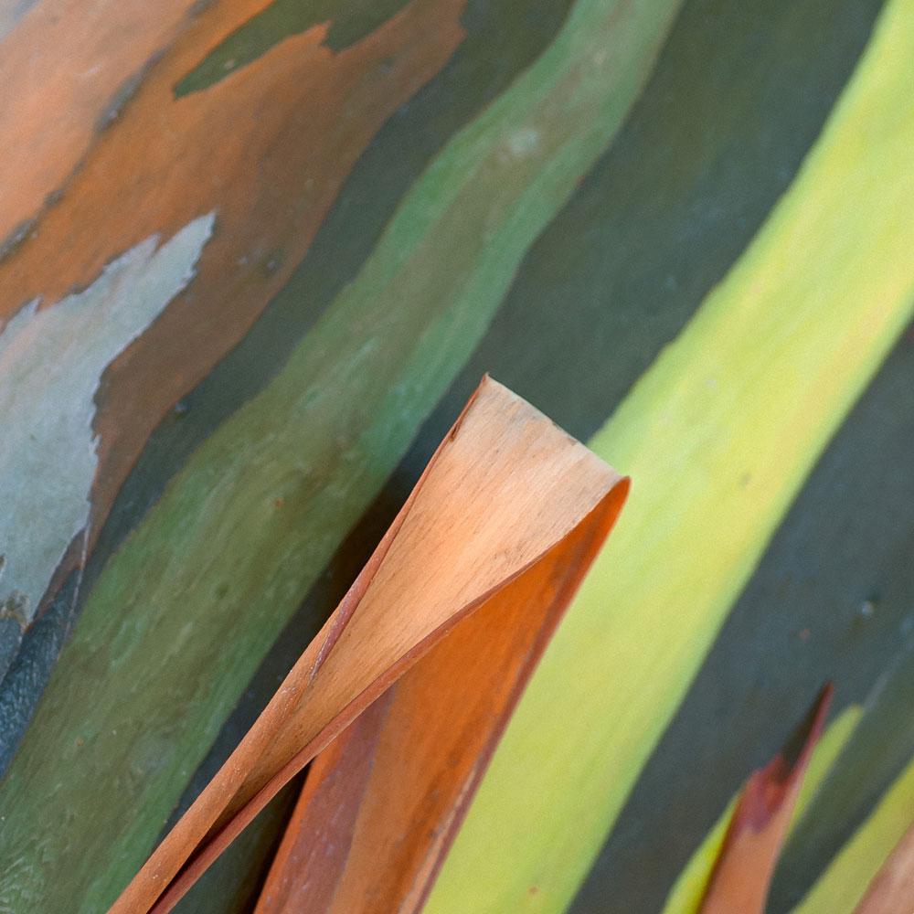 Rainbow Eucalyptus No. 19