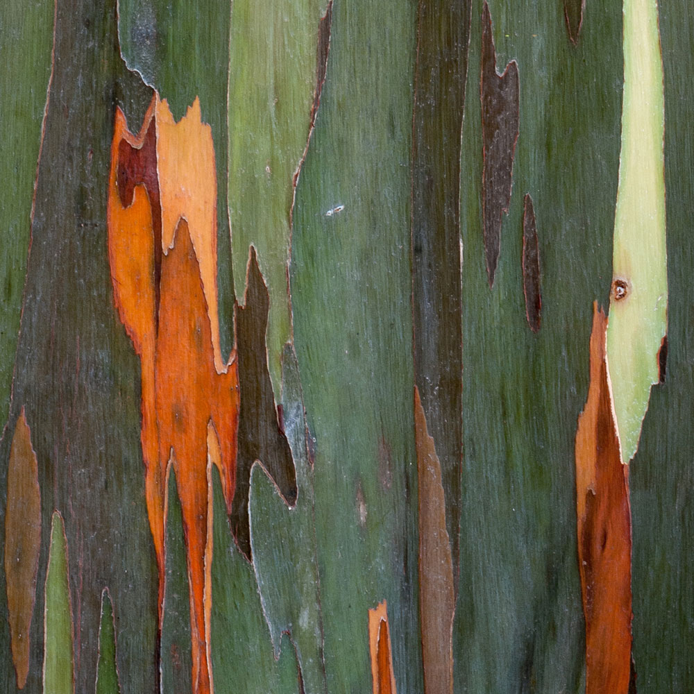 Rainbow Eucalyptus No. 22