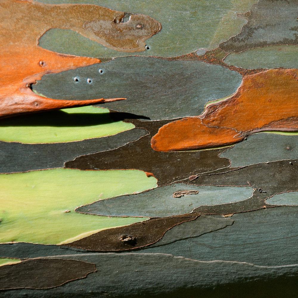 Rainbow Eucalyptus No. 18