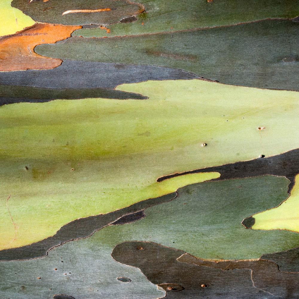 Rainbow Eucalyptus No. 20
