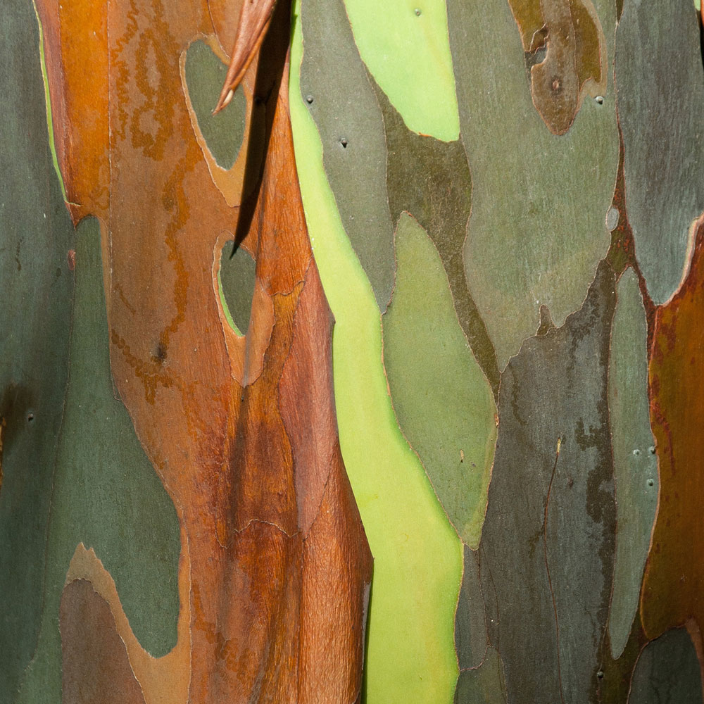 Rainbow Eucalyptus No. 21