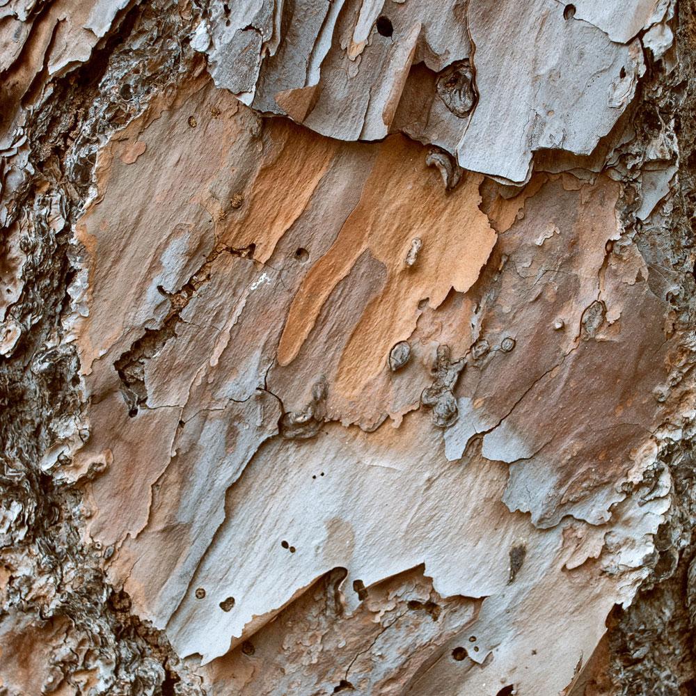 Slash Pine No. 14