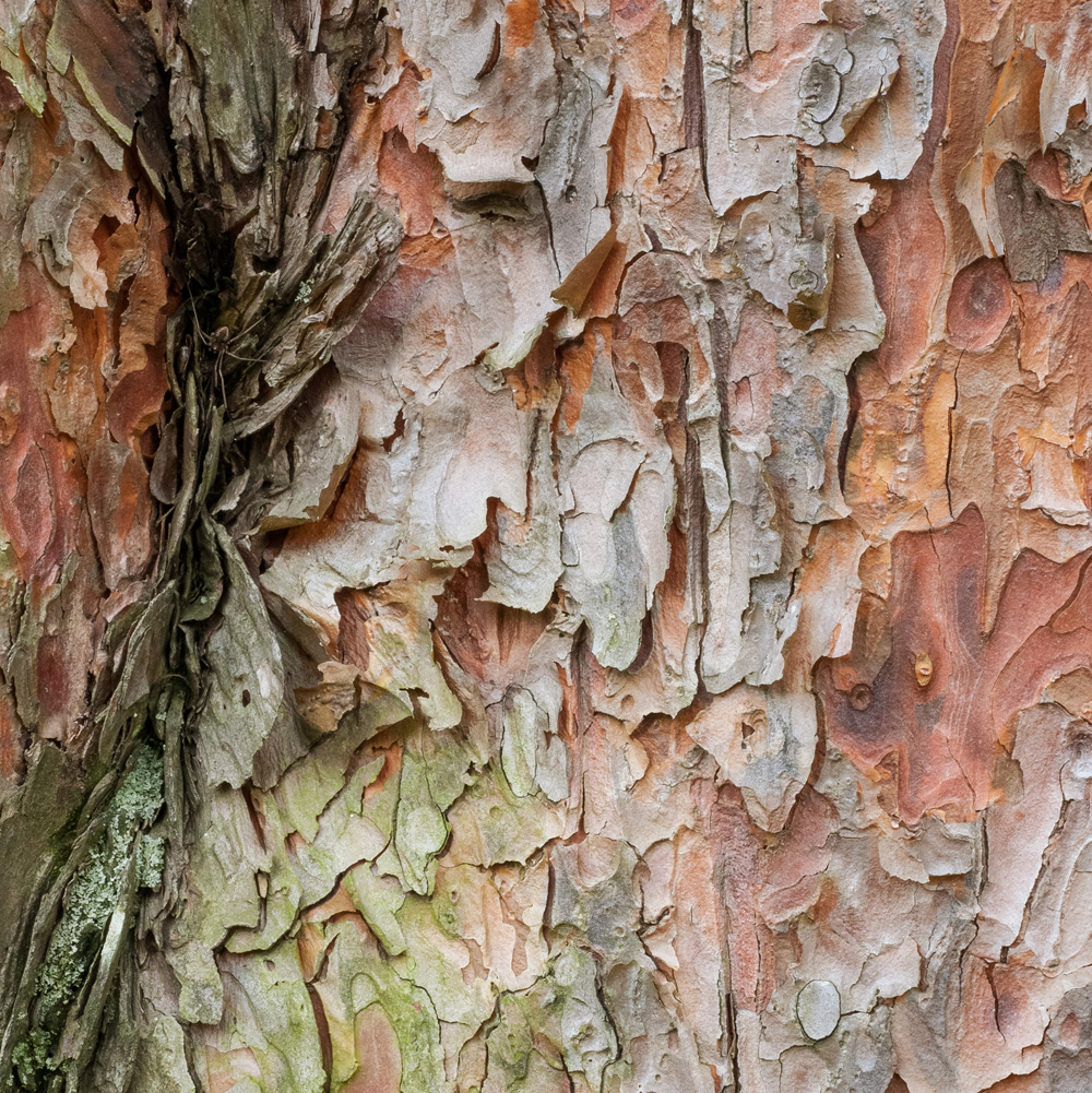 Tanyosho Pine No. 11