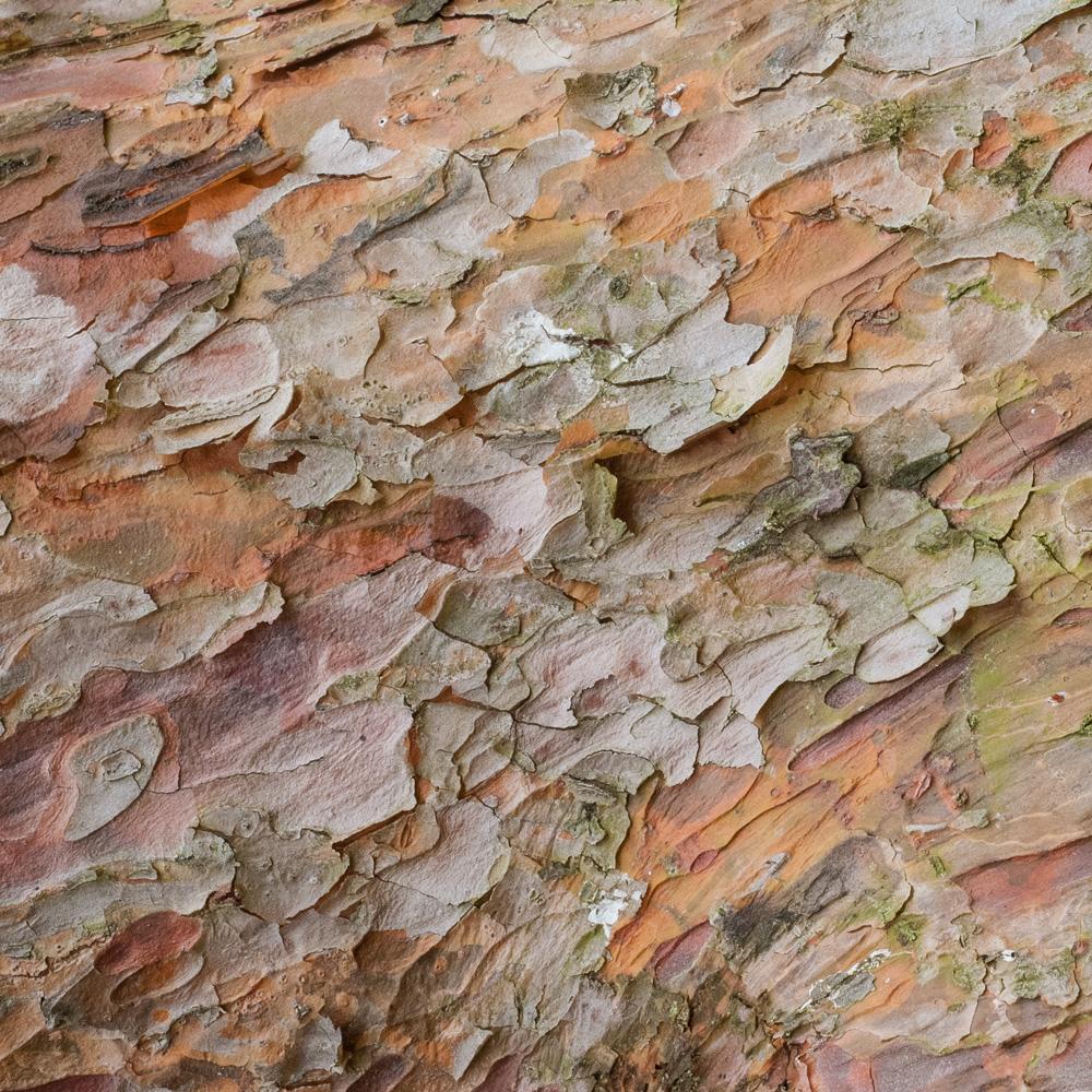 Tanyosho Pine No. 13