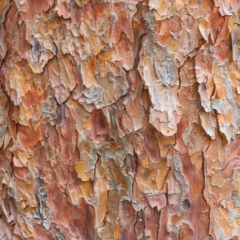 Tanyosho Pine No. 15