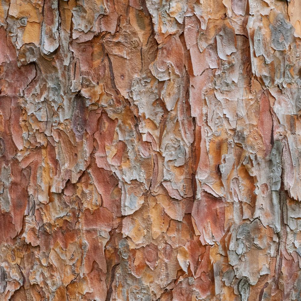 Tanyosho Pine No. 18