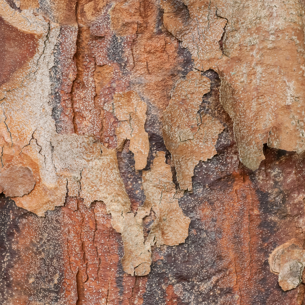 Paperbark Maple No. 11