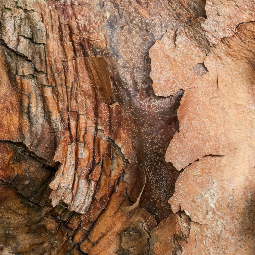 Paperbark Maple No. 13