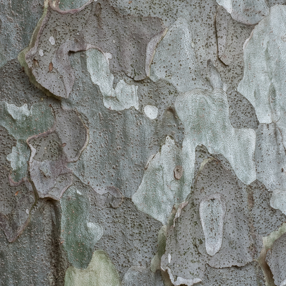 Lacebark Pine No. 11