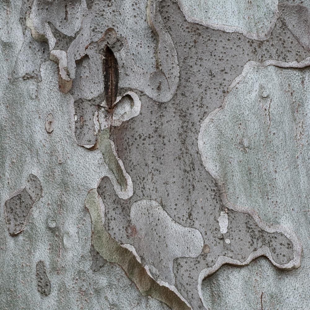 Lacebark Pine No. 12