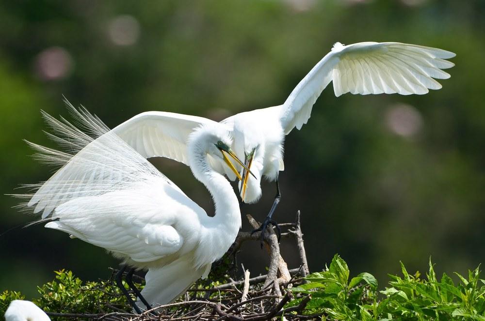 Dueling Herons.jpg