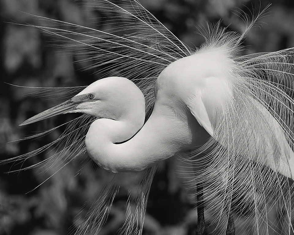 Fancy Egret