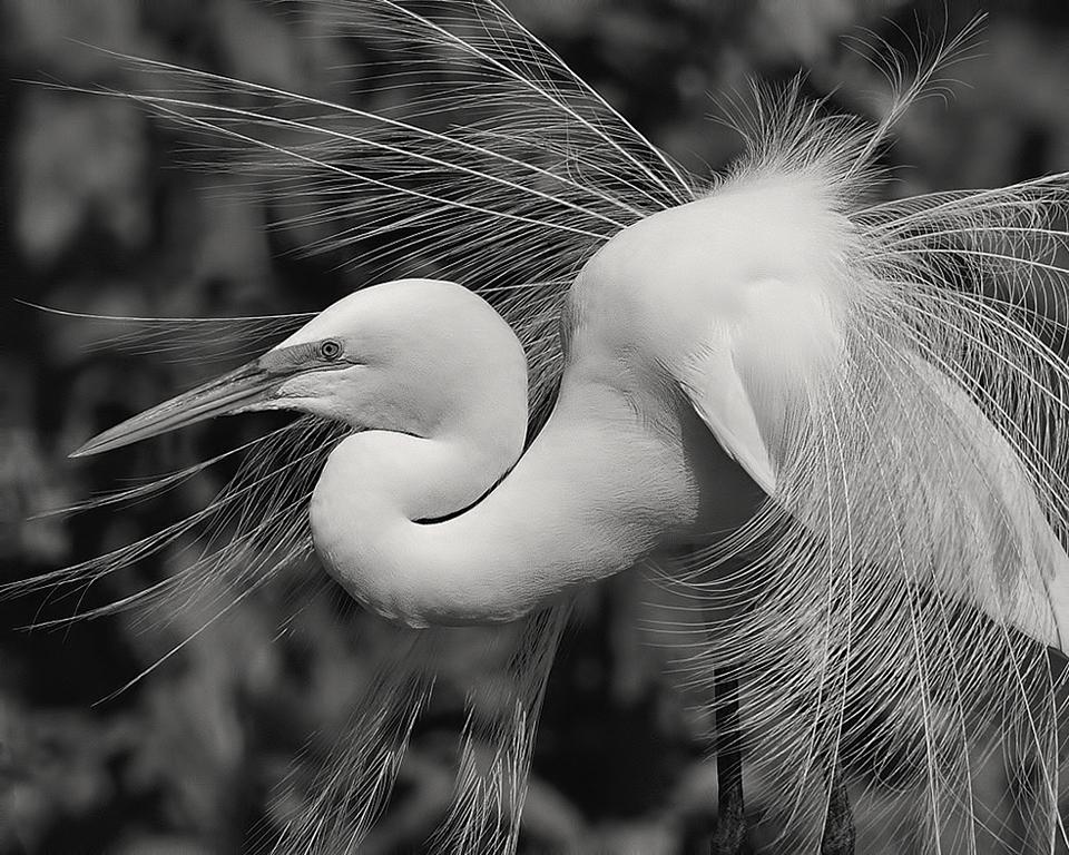 Fancy Egret