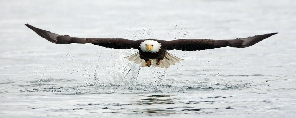 Bald Eagle Taking Off From Water, Mark Lagrange, GNOCC, 1st Place
