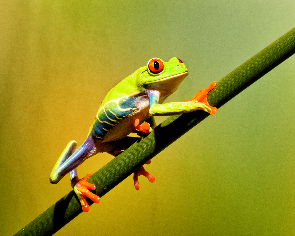 Red-Eyed Tree Frog,Nancy Crays,	Lafayette Photographic Society,	3rd Place,Color Prints