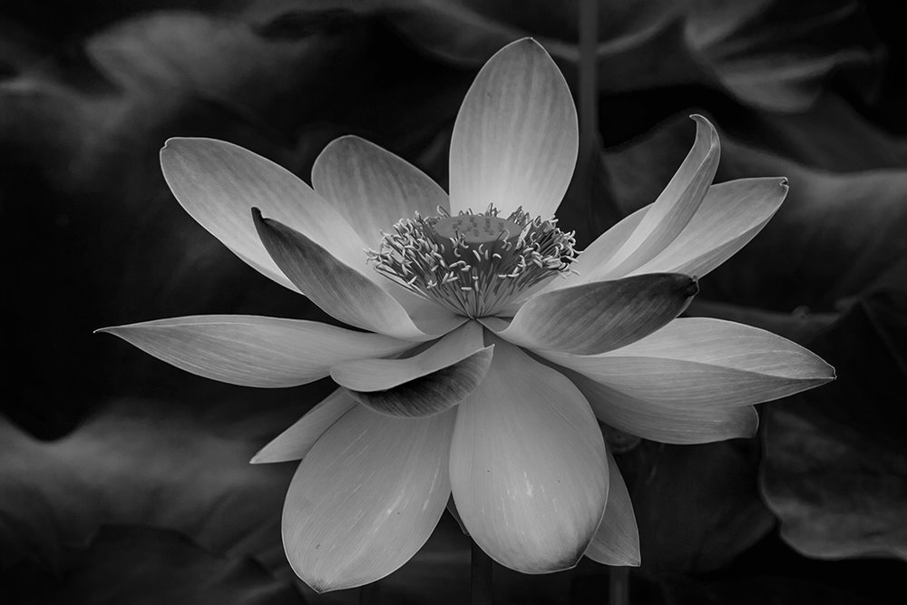 Lotus Blossom,	Evelyn Sandler,	Houston Camera Club,2nd Place,Mono Projected