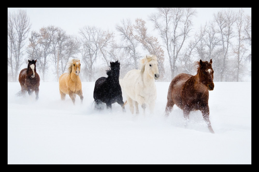 Horses Running in Fresh Snow at Sunrise, Sharlott Hasty, Plano PC, 2nd HM
