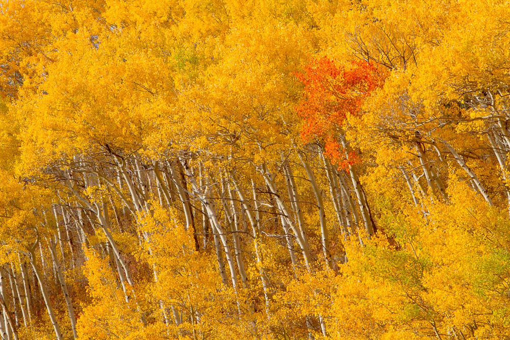 Yellowstone..Orange Tree in Yellow, Mark Lagrange, GNOCC, 2nd HM