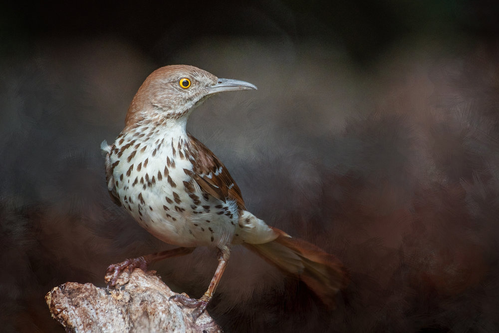 Brown Thrasher, Pat Leger, Lafayette PS, 2nd