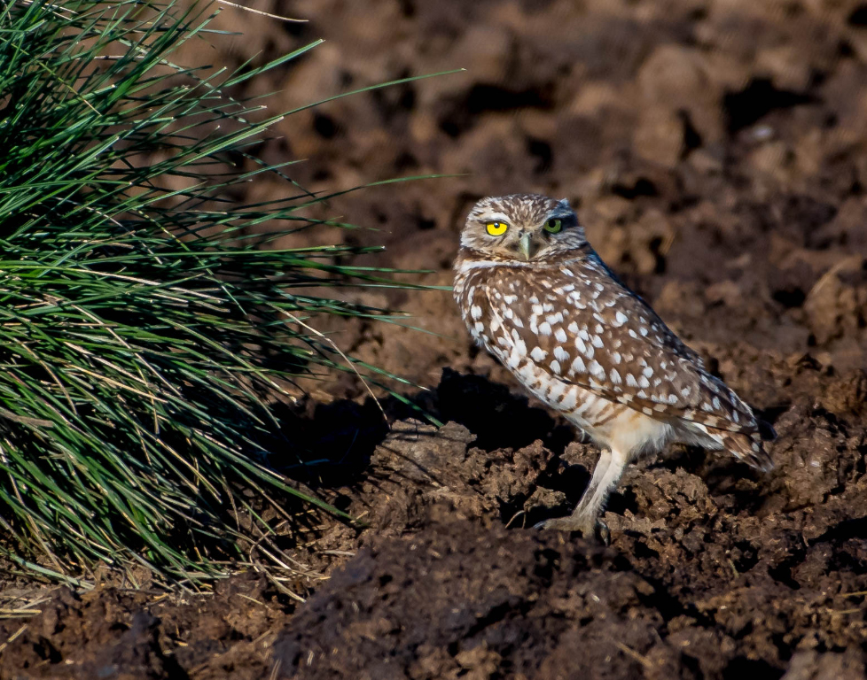 Burrowing Owl,	Stephen Kern, Beaumont CC, 2nd Place