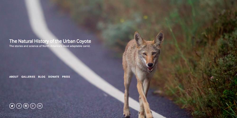 The Urban Coyote Project   captures stories about coyote life in cities.