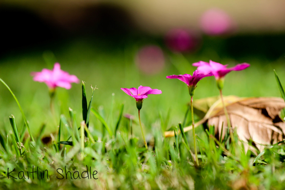 Pink Flowers in the Grass