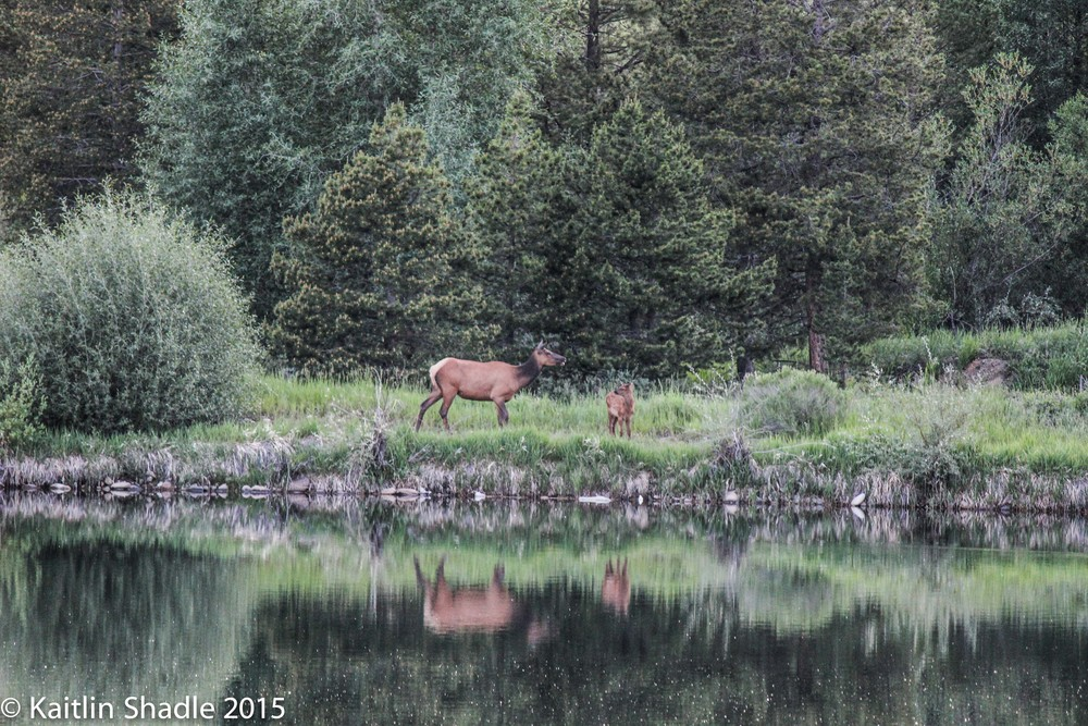 Momma and Baby Elk