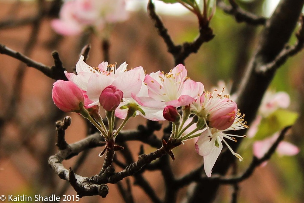 Pink Buds and Twigs